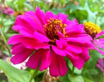 Fiori rosa di zinnia Fotografie Stock