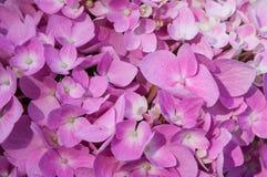 Fiori rosa dolci e bei dell'ortensia immagine stock