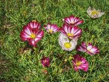 Fiori rosa e bianchi con polline giallo Fotografia Stock Libera da Diritti