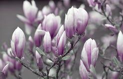 Fiori rosa e bianchi della magnolia fotografia stock libera da diritti