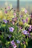 Fiori rosa e blu del tabacco del gelsomino immagini stock