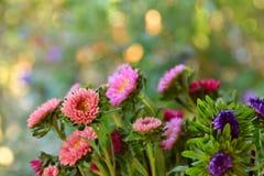 ` Fiori rosa e blu di s dell'aster Fotografia Stock
