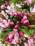 Fiori rosa e fucsia sull'albero fotografia stock