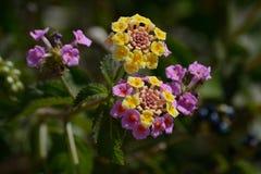 Fiori rosa e gialli Immagine Stock