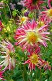 Fiori rosa e gialli della dalia Immagine Stock