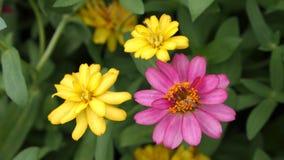 Fiori rosa e gialli di zinnia in una fila Fotografie Stock Libere da Diritti