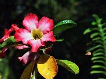 Fiori rosa esotici fertili Fotografia Stock