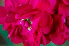 Fiori rosa eterogenei su un primo piano del ramo Immagini Stock Libere da Diritti