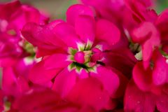 Fiori rosa eterogenei su un primo piano del ramo Immagini Stock