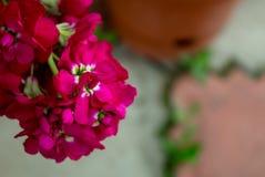 Fiori rosa eterogenei su un primo piano del ramo Fotografia Stock Libera da Diritti