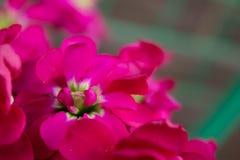 Fiori rosa eterogenei su un primo piano del ramo Fotografia Stock