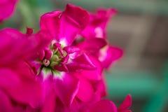 Fiori rosa eterogenei su un primo piano del ramo Immagine Stock Libera da Diritti