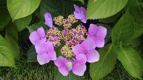Fiori rosa fertili di fioritura su un cespuglio verde Immagini Stock Libere da Diritti