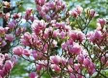 Fiori rosa in fiore della magnolia del giardino fotografie stock libere da diritti