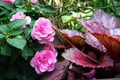 Fiori rosa, foglie di rosso Fotografia Stock Libera da Diritti