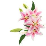 Fiori rosa freschi del fiore del giglio Fotografia Stock