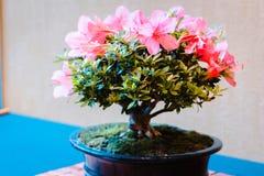 Fiori rosa luminosi che fioriscono su un albero dei bonsai immagine stock