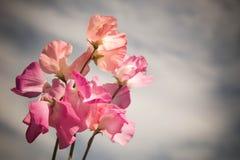 Fiori rosa luminosi contro il cielo grigio Immagini Stock