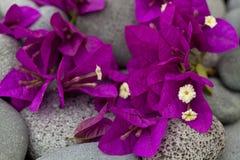 Fiori rosa luminosi della buganvillea immagine stock libera da diritti