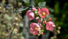 Fiori rosa luminosi in fioritura fotografia stock libera da diritti