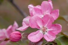 Fiori rosa luminosi meravigliosi di sakura con il germoglio Fotografie Stock Libere da Diritti