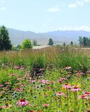 Fiori rosa nel campo Immagine Stock
