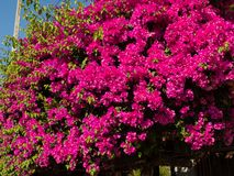 Fiori rosa nel giardino della casa dell'Asia fotografia stock libera da diritti