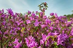 Fiori rosa nel tempo di primavera Fotografia Stock