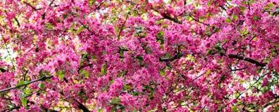 Fiori rosa nel tempo di primavera Fotografia Stock Libera da Diritti