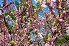 Fiori rosa nel tempo di primavera Immagini Stock Libere da Diritti