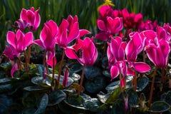 Fiori rosa retroilluminati di ciclamino Fotografia Stock
