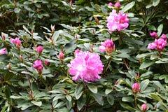 Fiori rosa - rododendro Fotografia Stock