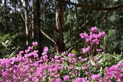 Fiori rosa - rododendro Immagine Stock