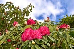 Fiori rosa - rododendro Fotografie Stock