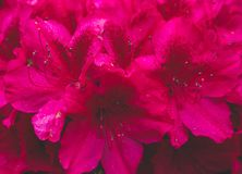 Fiori rosa scuri dell'azalea in piena fioritura fotografia stock