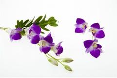 Fiori rosa scuri dell'orchidea su fondo bianco Fotografie Stock