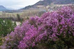 Fiori rosa su un fondo delle montagne, del fiume e di una valle sotto un cielo nuvoloso fotografia stock
