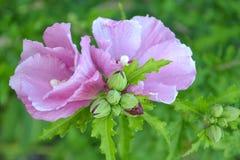 Fiori rosa su un fondo di fogliame Fotografia Stock Libera da Diritti