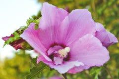 Fiori rosa su un fondo di fogliame Immagini Stock