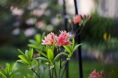 Fiori rosa su un fondo vago Fotografia Stock