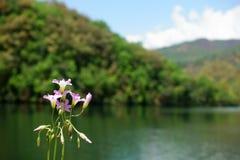 Fiori rosa sui precedenti del lago Fotografia Stock Libera da Diritti
