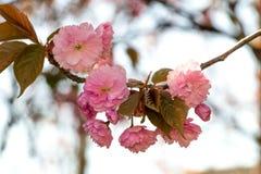 Fiori rosa sui rami del giapponese sakura Fotografia Stock