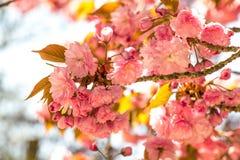 Fiori rosa sui rami del giapponese sakura Fotografie Stock