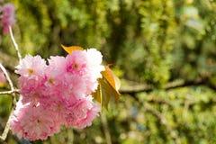 Fiori rosa sui rami del giapponese sakura Immagini Stock