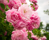 Fiori rosa sul cespuglio di rose in giardino, ora legale Fotografia Stock Libera da Diritti