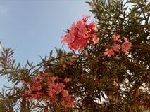 Fiori rosa sul cielo immagine stock