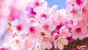 Fiori rosa sul ramo con cielo blu durante la fioritura della molla Ramifichi con i fiori di sakura ed il fondo rosa del cielo blu Immagini Stock Libere da Diritti