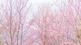 Fiori rosa sul ramo con nebbioso durante il ramo di fioritura della molla con i fiori di sakura ed il fondo rosa della nebbia Fotografia Stock