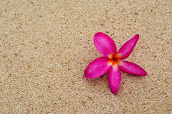 Fiori rosa sulla sabbia Fotografia Stock Libera da Diritti