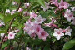 Fiori rosa teneri del weigela in primavera Immagini Stock Libere da Diritti